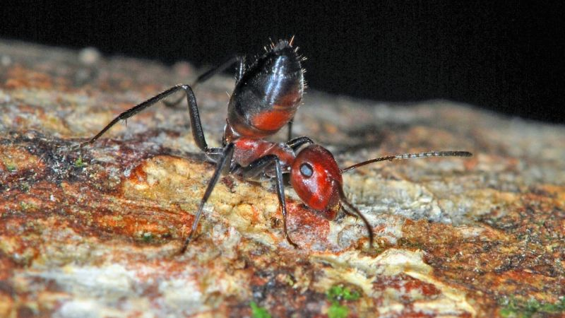Loài kiến nổ ở đảo Borneo: Hy sinh để bảo vệ cả đàn