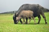 Thanh Hóa: Yêu cầu trả lại phí đồng cỏ chăn thả trâu bò trước 30/4
