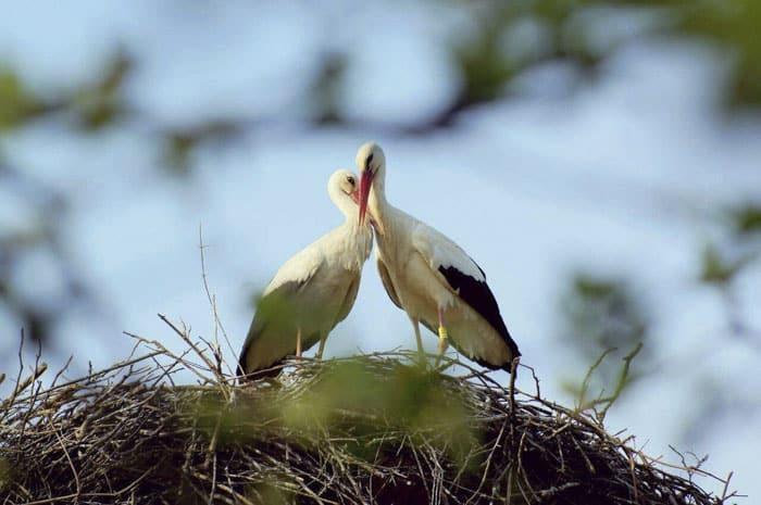 stork-couple-love-klepetan-malena-croatia