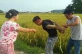 bảo kê máy gặt lúa