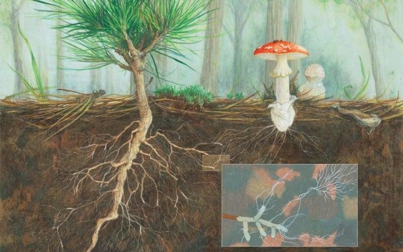 mycorrhizal_cay-thong-cay-coi-thuc-vat