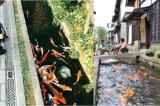 Cá chép bơi lội tung tăng trong các rãnh nước thải ven đường ở Nhật
