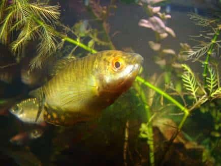 Nỗi niềm của loài cá sặt