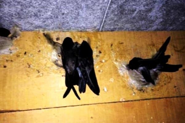 nuôi chim yến