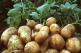 Tạp văn: Củ khoai và vỏ củ khoai