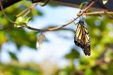Kén bướm