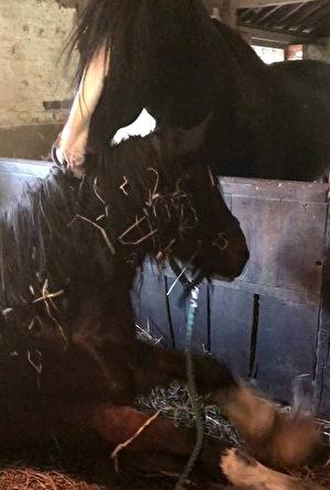 Điều kỳ diệu xảy ra khi ngựa đực tới 'tạm biệt' ngựa cái sắp qua đời