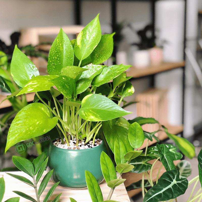 cây cảnh trồng trong nhà
