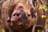 Bức ảnh con tê giác với vết thương lở loét trên đầu gây xúc động