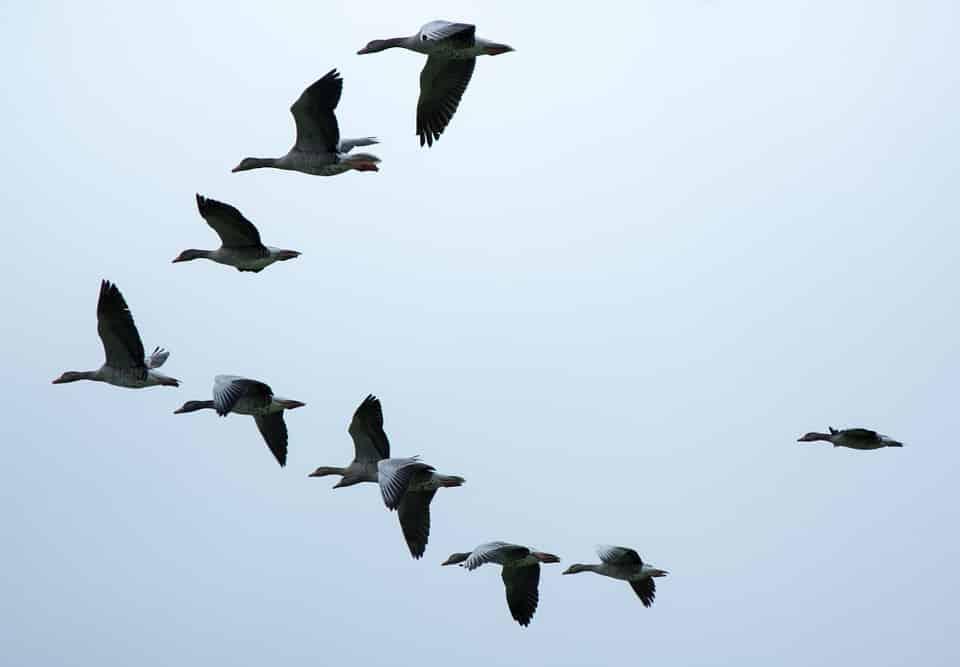 Bài học từ cách đàn ngỗng bay cùng nhau