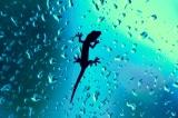 Phát hiện một khả năng đáng nể nữa của thạch sùng: Chạy trên mặt nước