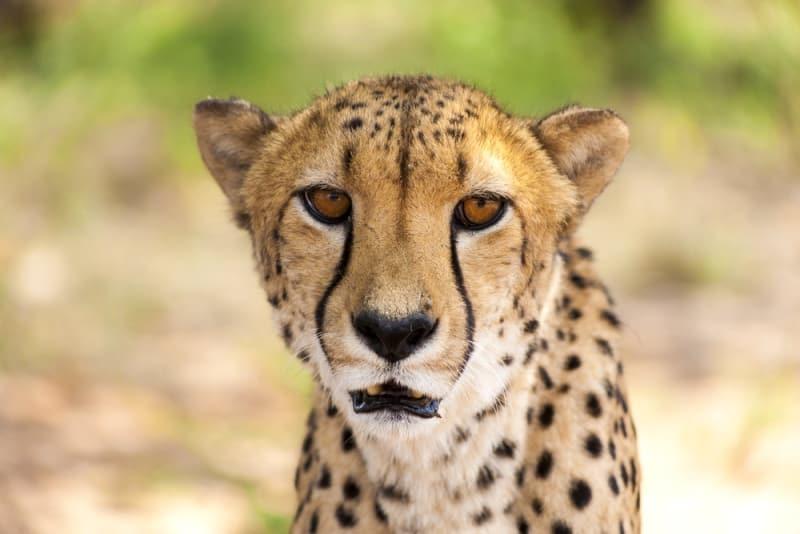 Tiếng kêu của báo săn Gêpa hùng dũng giống như tiếng... mèo con
