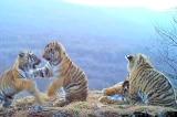 Quay được hình ảnh hiếm gặp của gia đình hổ Siberia ở Nga (Video)
