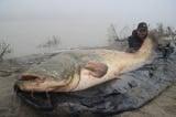 Câu được con cá nheo khổng lồ dài gần 2,7m