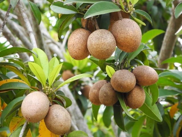 Những tác dụng tuyệt vời của trái hồng xiêm