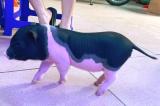 Bộ Nông nghiệp đề nghị kiểm soát chặt lợn cảnh nhập lậu vào Việt Nam
