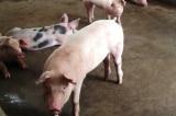 17 tỉnh thành xuất hiện dịch tả lợn châu Phi