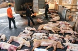 Hà Tĩnh xuất hiện dịch tả lợn châu Phi