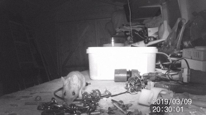 """Chú chuột tốt bụng bí mật """"dọn đồ"""" cho chủ nhà mỗi đêm - Trí Thức VN"""