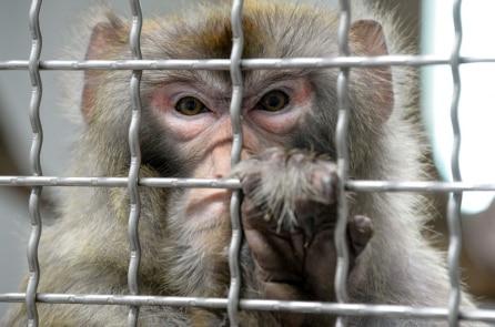 Cấy gen não người vào não khỉ: Nhà khoa học Trung Quốc lại gây chấn động