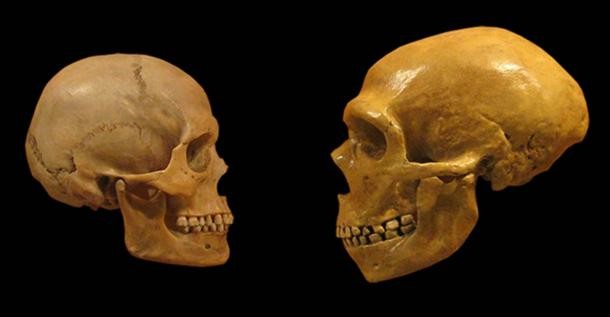Human-and-Neanderthal-skulls