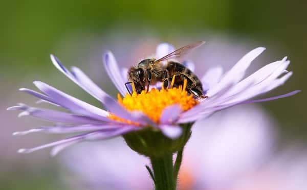 con ong, loài ong