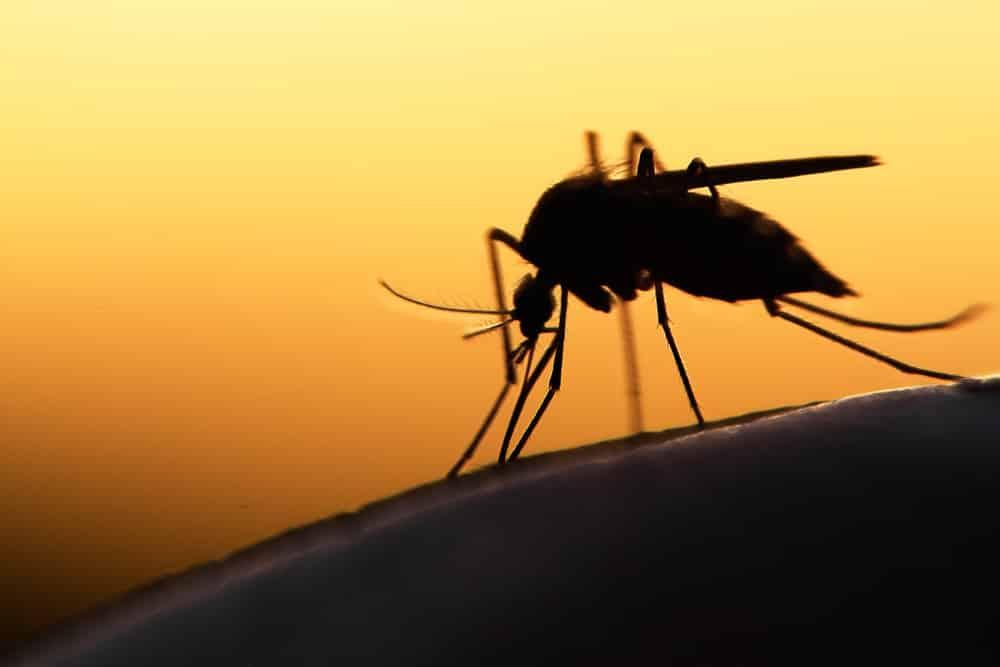 Brazil: Dự án diệt muỗi bằng biến đổi gen thất bại ngoạn mục
