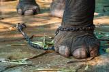 Hội chứng con voi bị xích