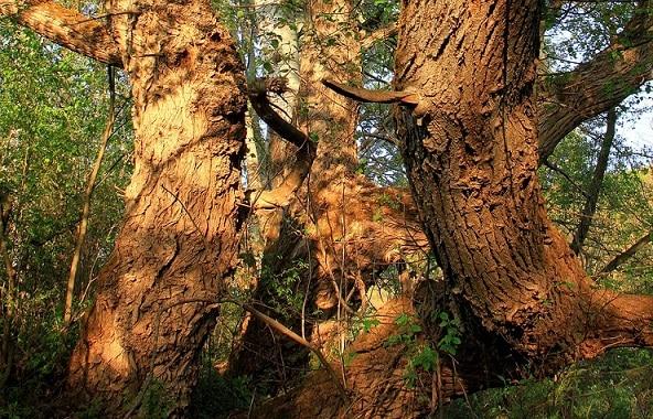 cây liễu, thuốc giảm đau