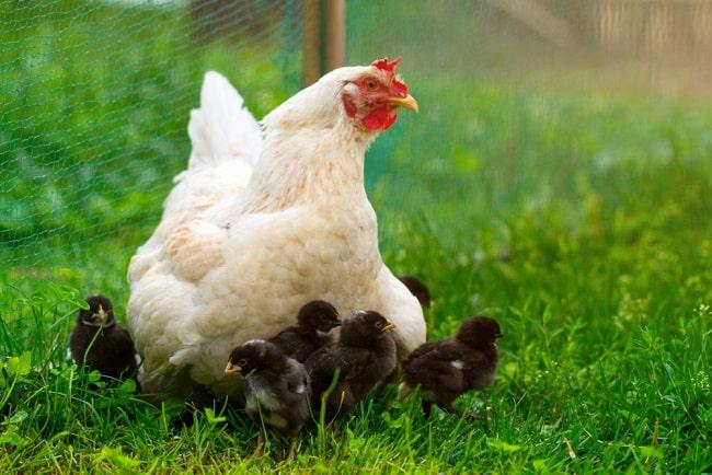 gà, gà ấp trứng