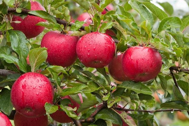 hạt giống, quả táo