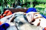 Khởi tố trưởng ban thú y ở Hải Dương vì 'ăn' tiền hỗ trợ dịch tả lợn châu Phi
