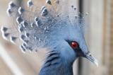Bạn đã bao giờ nghe nói đến loài bồ câu vương miện Victoria?