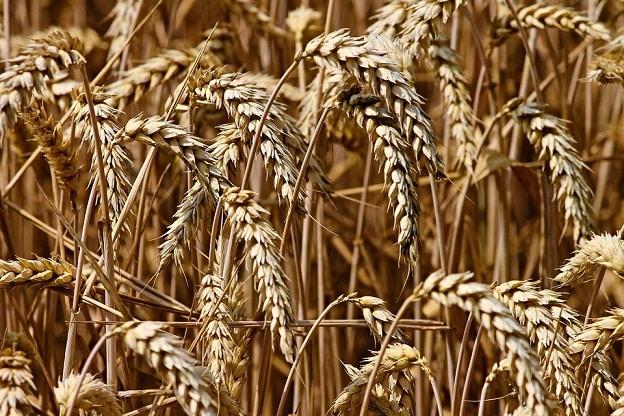 lúa mì, bệnh tuyến giáp