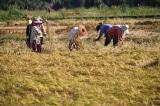Ruộng lúa, gặt lúa, mùa màng