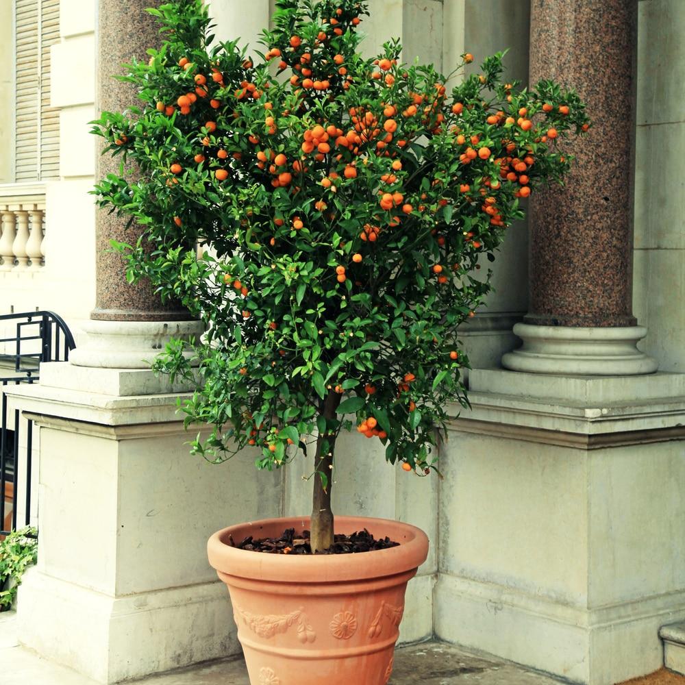Cách chọn cây quất đẹp nhiều tài lộc