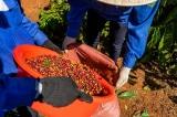 thu hoạch cà phê, thu ngân sách