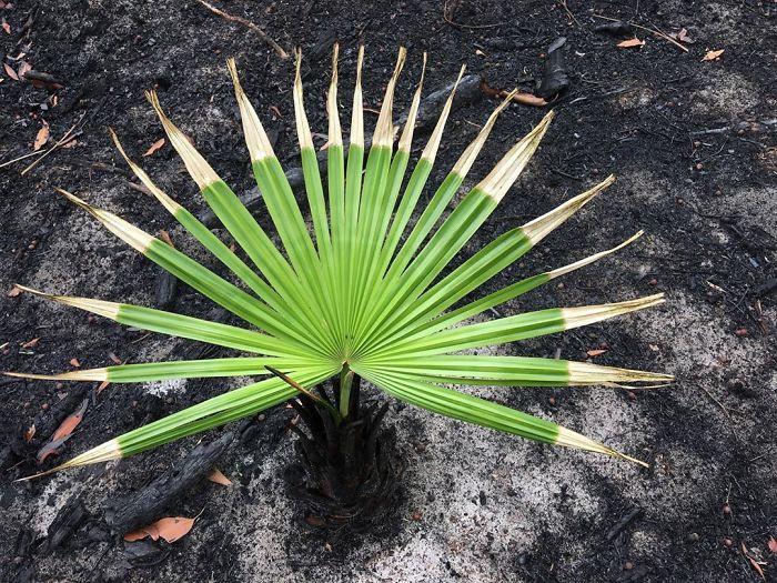 cây cối, màu xanh sau cháy rừng ở Úc