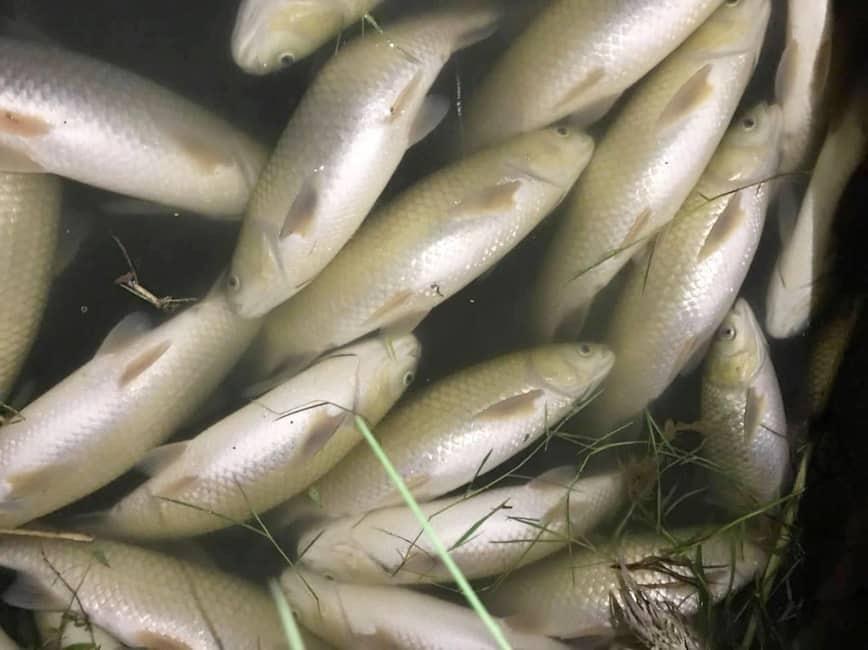 cá chết sông chu