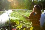 Ngày càng nhiều người Mỹ tự trồng rau do lo sợ thiếu thực phẩm