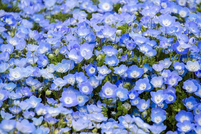 hoa mắt xanh, công viên Hitachi