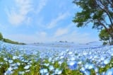 """Ngắm """"thiên đường hoa mắt xanh"""" đẹp lung linh ở Công viên Hitachi"""