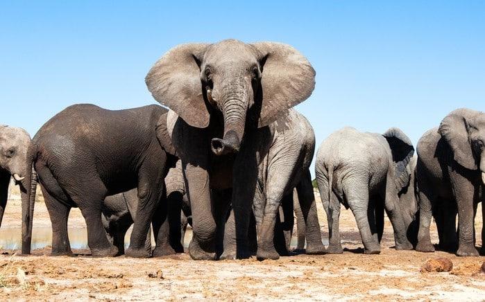 Voi ở Botswana