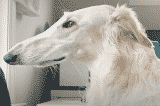 chó săn Borzoi