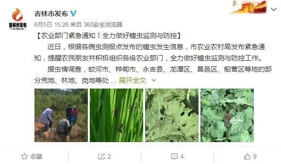 Thành phố Cát Lâm gần đây xuất hiện châu chấu gây hại. (Ảnh: Weibo)