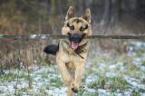 Chú chó tốt bụng giúp người khiếm thị loại bỏ vật cản trên đường
