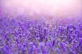 hòn đảo tím, hoa oải hương