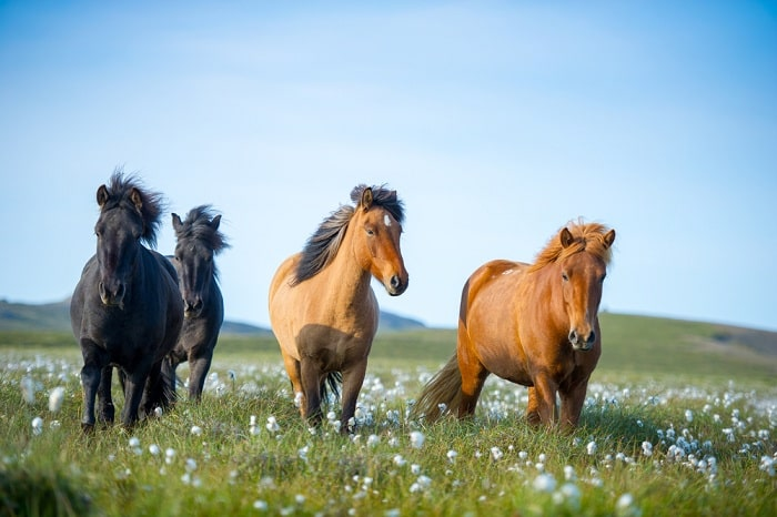Loài ngựa thuần chủng nhất thế giới, sống tách biệt nghìn năm trên băng đảo