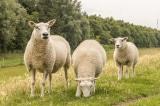 cừu Texel