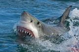 cá mập trắng, cá mập, cá mập tấn công